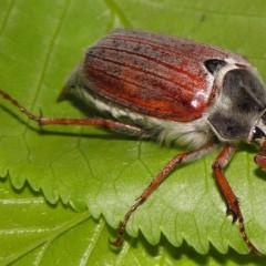 Gåsebiller, et flot, men problematisk insekt